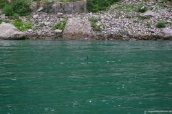 Duck in Niagara River as viewed from Maid of the Mist.jpg